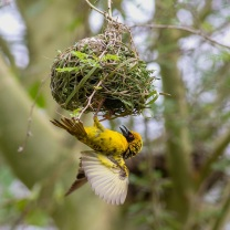 Village weaver building one of many nests to attract a female
